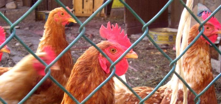 Hens. Photo credit: Iliana