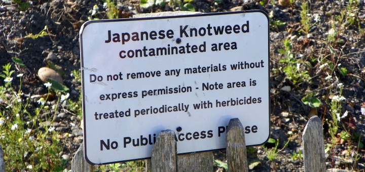 Solutions to remove Japanese knotweed *do* exist. Photograph by Peter O'Connor